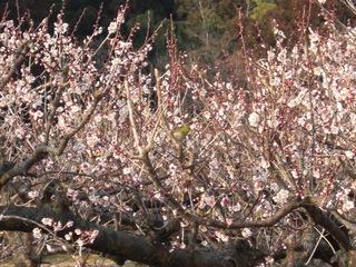 梅の花とメジロCIMG8040.JPG