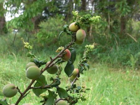 20110506収穫前にアブラムシCIMG9062.JPG